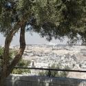 olive tree in Jerusalem