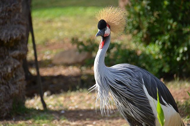 Jerusalem Zoo crested crane