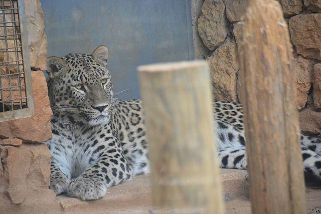 Jerusalem Zoo leopard