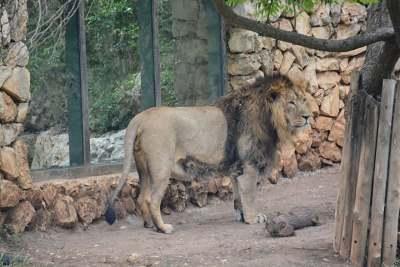 Jerusalem Zoo lion