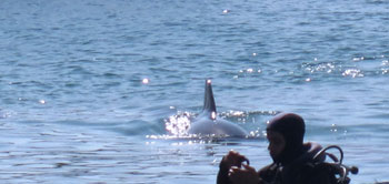Man scuba diving in Eilat, swimming with dolphins
