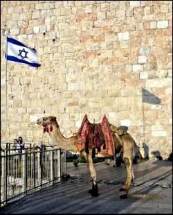 camel in Jerusale