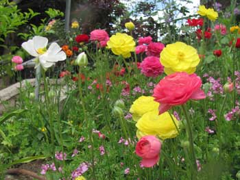 Ranunculus flowers at Jerusalem Botanical Gardens