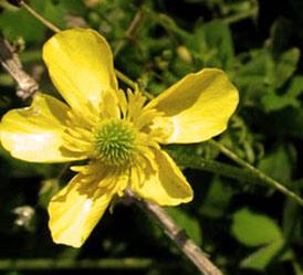 Flowers of Israel: Ranunculus millefolius (Nurit Yerushalmit)