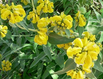 Jerusalem Sage - yellow blossoms of phlomis fruticosa