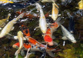 Koi in the fish petting pond at the Jerusalem Biblical Zoo