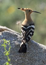 Hoopoe-Israel's national bird