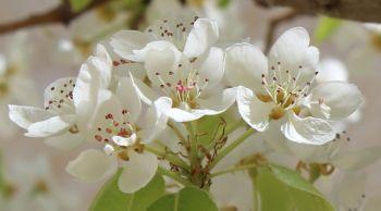 pear blossoms in Jerusalem