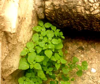Chickweed, healing plants of Israel, growing in a Jerusalem sidewalk.