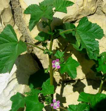 Healing plants of Israel: Mallow growing in Jerusalem
