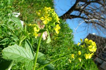 Healing plants of Israel: mustard flowers in Jerusalem