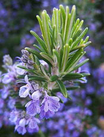 Rosemary, healing plants of Israel, which grow all over Jerusalem