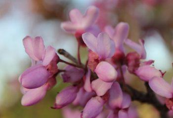 Jerusalem blossoms