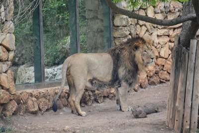 Jerusalem Zoo lion