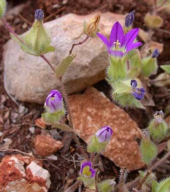 Flowers of Israel: Jerusalem bellflower (campanula hierosolymitana)