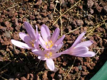 Flowers of Israel: Jerusalem Autumn Crocus (colchicum hierosolymitanum)