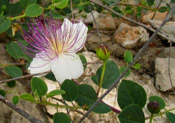 Capers  - healing plants of Israel