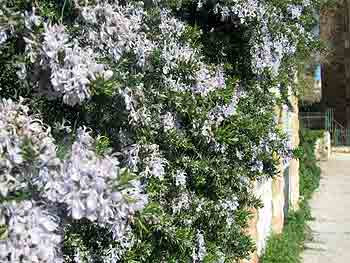 Healing plants of Israel: Rosemary growing on a wall in Jerusalem